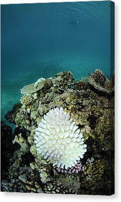 Bleached Coral, Fiji Canvas Print by Pete Oxford