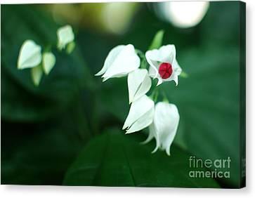 Bleeding Heart Vine Blossom Canvas Print by Floyd Menezes