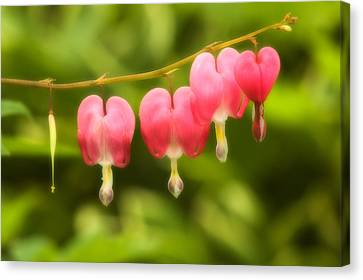 Bleeding Hearts Canvas Print by Sebastian Musial