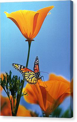 Blessed By The Sun Canvas Print by Evie Cook