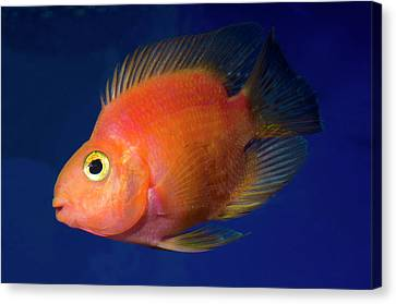 Blood Parrot Cichlid Canvas Print by Nigel Downer