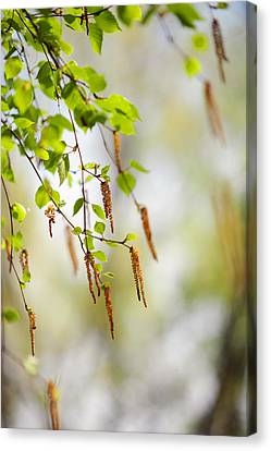 Blooming Birch Tree Canvas Print by Jenny Rainbow