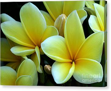 Blooming Yellow Plumeria Canvas Print by Sabrina L Ryan