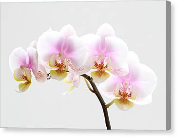 Blooms On White Canvas Print by Juergen Roth
