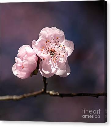 Blossom Canvas Print by Joy Watson
