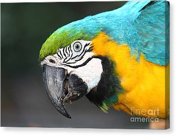 Blue And Yellow Macaw Portrait Canvas Print by James Brunker