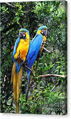 Blue And Yellow Macaws Canvas Print by James Brunker