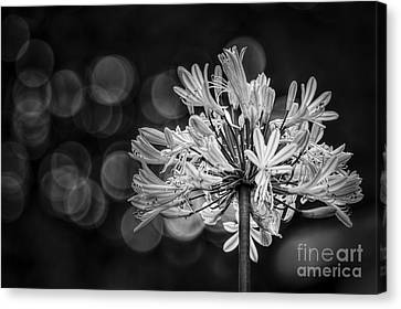 Blue Blooms B/w Canvas Print by Marvin Spates