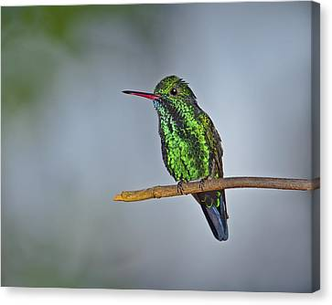 Blue-chinned Sapphire  Canvas Print by Tony Beck