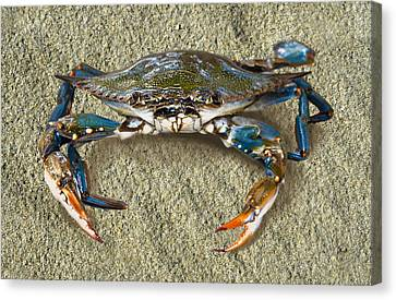 Blue Crab Confrontation Canvas Print by Sandi OReilly