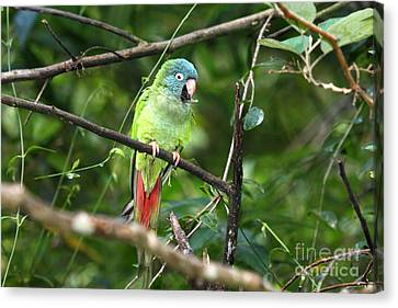 Blue Crowned Parakeet Canvas Print by James Brunker