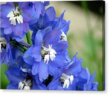 Blue Delphinium Flower Canvas Print by Bonita Hensley