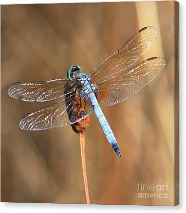 Blue Dragonfly Square Canvas Print by Carol Groenen