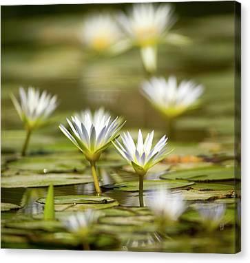 Blue Egyptian Lotus Nymphaea Caerulea Canvas Print by Photostock-israel
