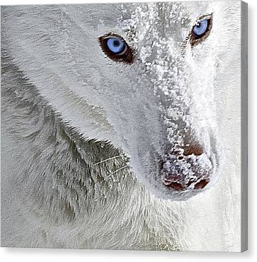 Blue Eyed Charger Canvas Print by May Finch