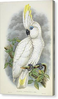 Blue-eyed Cockatoo Canvas Print by William Hart