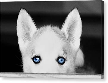 Blue Eyed Huskie Canvas Print by Susan Stone