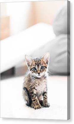 Blue Eyed Kitten Canvas Print by Shelby  Young