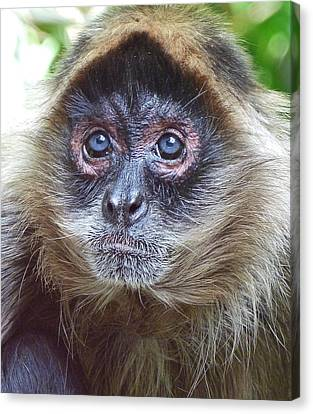Blue Eyed Spider Monkey Canvas Print by Margaret Saheed