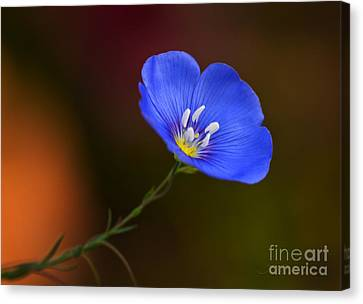 Blue Flax Blossom Canvas Print by Iris Richardson