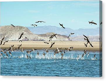 Blue-footed Boobies Feeding Canvas Print by Christopher Swann
