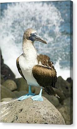Blue-footed Booby Canvas Print by Daniel Sambraus