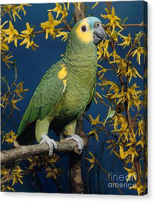Blue-fronted Amazon Parrot Canvas Print by Hans Reinhard