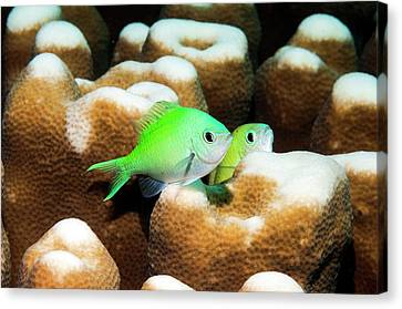 Blue-green Chromis On Coral Canvas Print by Georgette Douwma