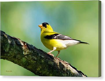 Blue Heart Goldfinch Canvas Print by Christina Rollo