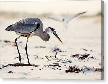 Blue Heron At The Beach Canvas Print by Joan McCool