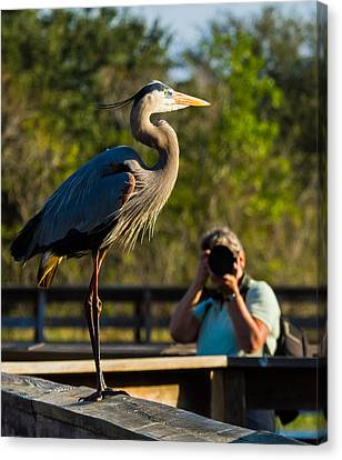Blue Heron Ready For Its Closeup Canvas Print by Andres Leon