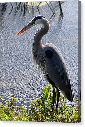 Blue Heron Standing Tall Canvas Print by April Antonia