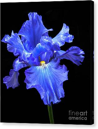 Blue Iris Canvas Print by Robert Bales
