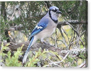 Blue Jay Canvas Print by Kathy Peltomaa Lewis