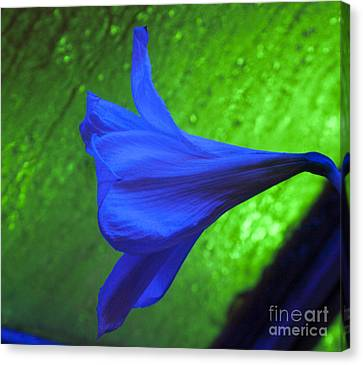 Blue Lily On Green Canvas Print by Darleen Stry