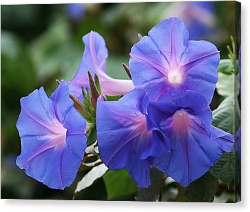 Blue Morning Glory Wildflowers - Convolvulaceae Canvas Print by Kathy Clark