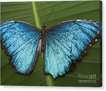 Blue Morpho - Morpho Peleides Canvas Print by Heiko Koehrer-Wagner