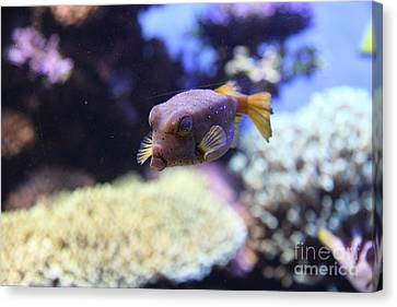 Blue Puffer Fish 5d24889 Canvas Print by Wingsdomain Art and Photography
