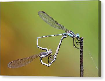 Blue Ringtail Damselflies Mating Canvas Print by Gerry Pearce