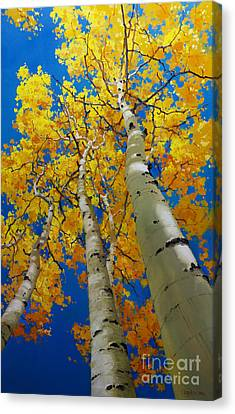 Blue Sky And Tall Aspen Trees Canvas Print by Gary Kim