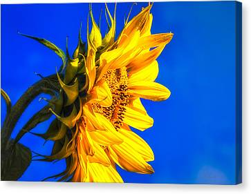 Blue Sky Sunshine Sunflower Canvas Print by Bob Orsillo