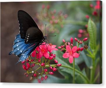 Blue Swallowtail Butterfly  Canvas Print by Saija  Lehtonen