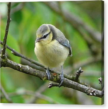 Blue Tit In A Cherry Tree Canvas Print by Valerie Ornstein