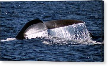 Blue Whale Flukes 2 Canvas Print by Valerie Broesch