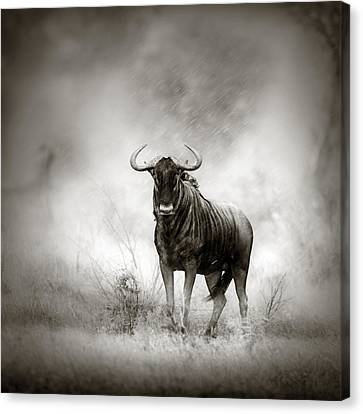 Blue Wildebeest In Rainstorm Canvas Print by Johan Swanepoel