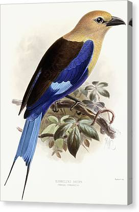 Bluebellied Roller Canvas Print by Johan Gerard Keulemans