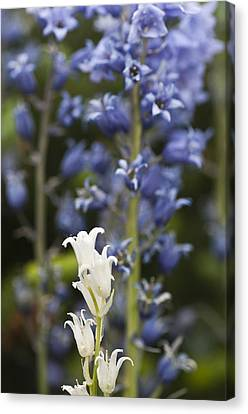 Bluebells 1 Canvas Print by Steve Purnell