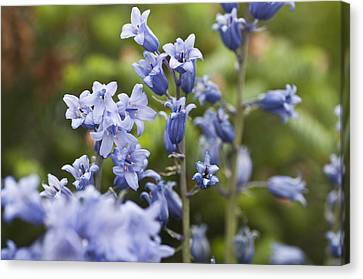 Bluebells 2 Canvas Print by Steve Purnell