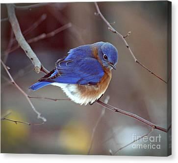 Bluebird In Winter Canvas Print by Karen Adams