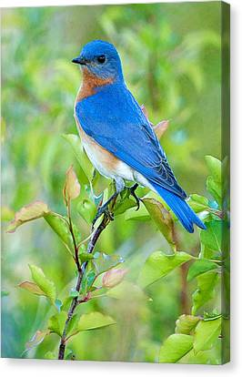Bluebird Joy Canvas Print by William Jobes